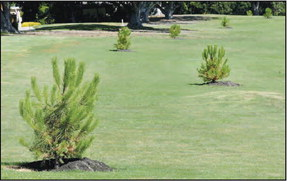 Resident says new pine trees might obscure golf course view