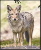Coyote attack a reminder to keep dogs on leash